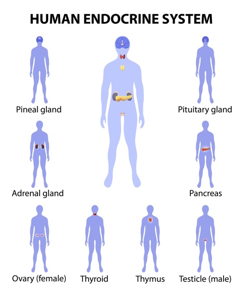 Get help with acupuncture for endocrine health.